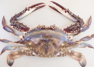 forzen blue swimming crab whole IQF fresh frozen sea food high quality HACCP to Korea Thailand